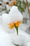 Fiori in tensione nella prima neve di inverno. Fotografia Stock