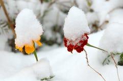 Fiori in tensione nella prima neve di inverno. Immagine Stock