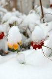 Fiori in tensione nella prima neve di inverno. Fotografie Stock