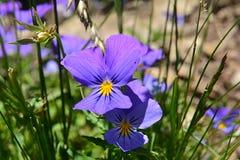 Fiori tricolori della viola due - uno all'ombra dell'altro Fotografia Stock