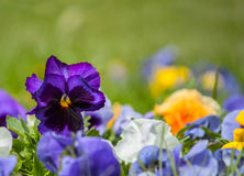 Fiori tricolori o bacio-me-rapidi della viola del cuore di facilità fotografie stock