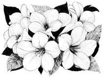 Fiori tropicali Arti grafiche Un fiore su un fondo bianco Usi i materiali stampati, i segni, gli oggetti, i siti Web, le mappe, i royalty illustrazione gratis