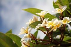 Fiori tropicali bianchi Fotografia Stock