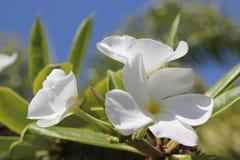 Fiori tropicali bianchi della palma con un contesto del cielo blu Fotografia Stock Libera da Diritti