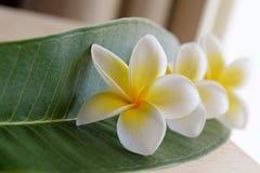 Fiori tropicali del frangipane, fiori di plumeria freschi Fotografie Stock