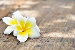 Fiori tropicali del frangipane, fiori di plumeria Immagini Stock