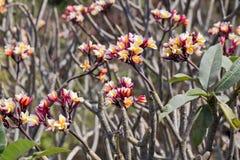 Fiori tropicali del frangipane, fiori di plumeria freschi Immagine Stock