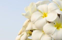 Fiori tropicali del Frangipani Fotografia Stock
