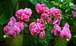 Fiori tropicali dell'orchidea Fotografie Stock
