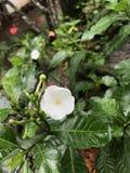 Fiori tropicali in fioritura, brauty della Sri Lanka Immagini Stock