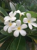Fiori tropicali in fioritura, natura dello Sri Lanka Immagine Stock