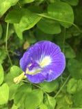 Fiori tropicali in fioritura Sri Lanka Fotografia Stock Libera da Diritti