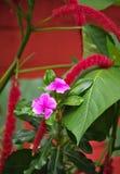 Fiori tropicali nel Nepal Fotografia Stock