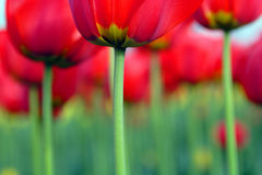 Fiori, tulipano Immagini Stock Libere da Diritti