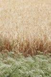Fiori in un campo dell'orzo Fotografia Stock Libera da Diritti