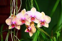 Fiori variopinti al giardino botanico reale Peradeniya, Sri Lanka Fotografia Stock Libera da Diritti