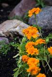 Fiori variopinti arancio con le rocce Immagini Stock