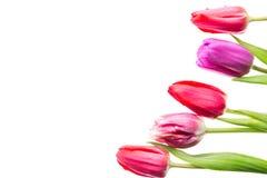 Fiori variopinti dei tulipani isolati su fondo bianco con spazio libero Mothersday o concetto della molla Fotografia Stock