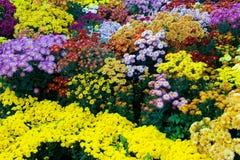 Fiori variopinti del crisantemo Immagine Stock