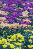 Fiori variopinti del crisantemo in un giardino Le mummie a volte chiamate fioriscono immagine stock