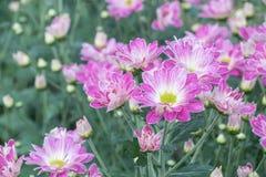 Fiori variopinti del crisantemo in un giardino Le mummie a volte chiamate fioriscono fotografia stock