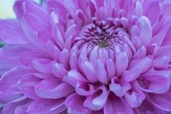 Fiori variopinti del crisantemo in un giardino Le mummie a volte chiamate fioriscono immagini stock