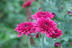 Fiori variopinti del crisantemo in un giardino Le mummie a volte chiamate fioriscono fotografie stock libere da diritti