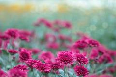 Fiori variopinti del crisantemo in un giardino Le mummie a volte chiamate fioriscono immagine stock libera da diritti