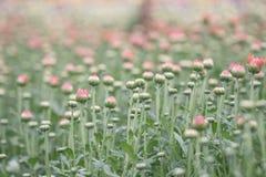 Fiori variopinti del crisantemo in un giardino Le mummie a volte chiamate fioriscono fotografia stock libera da diritti