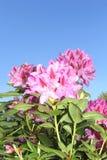Fiori variopinti del rododendro in un cielo blu Fotografia Stock Libera da Diritti