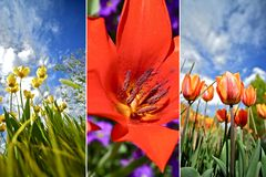 Fiori variopinti del tulipano Fotografie Stock Libere da Diritti