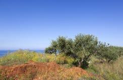 Fiori variopinti e di olivo in primavera vicino al mare blu sopra Fotografie Stock Libere da Diritti