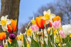 Fiori variopinti in il giardino di primavera Fotografie Stock