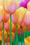 Fiori variopinti in primavera Fotografia Stock Libera da Diritti