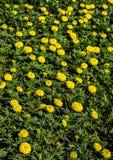 Fiori variopinti stupefacenti della primavera in natura fotografia stock