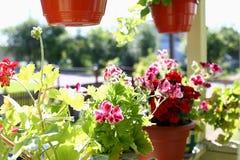 Fiori in vasi sui precedenti della molla della finestra del davanzale della finestra del balcone Fotografia Stock