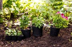Fiori in vaso prima della piantatura al cortile Immagini Stock Libere da Diritti