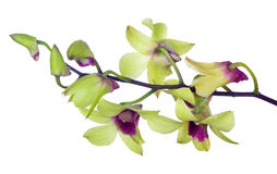 Fiori verde chiaro dell'orchidea con i centri porpora Immagini Stock Libere da Diritti