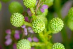 Fiori verdi di Craspedia delle palle di Billy della primavera Fotografia Stock Libera da Diritti