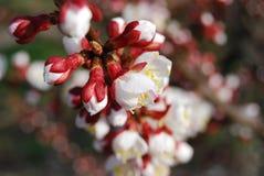 fiori vicini dell'albicocca in su Fotografia Stock