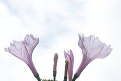 Fiori viola Fotografie Stock Libere da Diritti