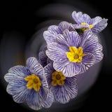 Fiori viola bianchi della primaverina fotografia stock libera da diritti