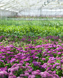 Fiori viola che fioriscono in una serra Fotografia Stock Libera da Diritti