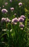 Fiori viola Cipolle di fioritura Fotografia Stock Libera da Diritti