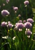 Fiori viola Cipolle di fioritura Fotografia Stock