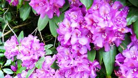 Fiori viola del rododendro La macchina fotografica si spost indietroare sul cursore Correzione di colore video d archivio