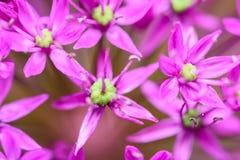 Fiori viola dell'allium Fotografia Stock Libera da Diritti