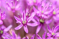 Fiori viola dell'allium Fotografie Stock