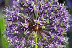Fiori viola dell'allium Fotografie Stock Libere da Diritti