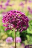 Fiori viola dell'allium Fotografia Stock